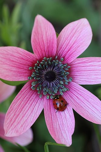 Anemone flower and a ladybug