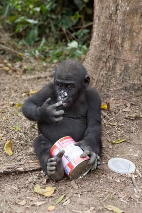 Luci breaks into the milk supply during playtime in the forest! 2012 © Ian Bickerstaff