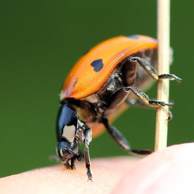 #ladybug #ladybird #leppäkerttu #leppäpirkko #canon #canonphotography #nature #bug #insect #photography #insect #macrophotography #macrolife #macrovision