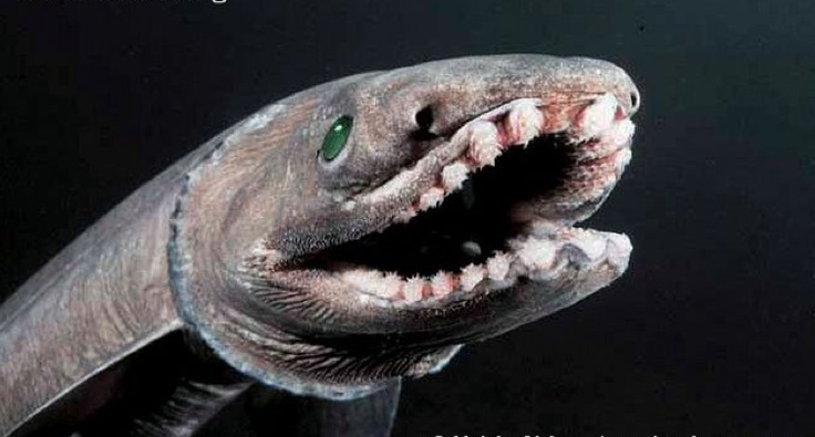 The Frilled Shark is named for it's six pairs of frilly-edged gills. It live as extreme depths of 400 to 4,200 feet.  With an unusual eel-like body, lizard-like head, ruffled throat, and tiny fins the Frilled shark rarely exceeds a length over six feet. Impressively, it is armed with 300 trident-shaped teeth organized into 25 rows. Mostly found in Japanese waters, this unusual creature eats mainly squid, although how they catch their prey is somewhat a mystery.