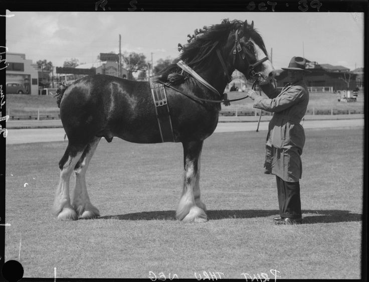 046393PD: Champion clydesdale stallion, 1939.  http://encore.slwa.wa.gov.au/iii/encore/record/C__Rb2396170__SChampion%20clydesdale%20stallion%20at%20the%20Perth%20__Orightresult__U__X6?lang=eng&suite=def