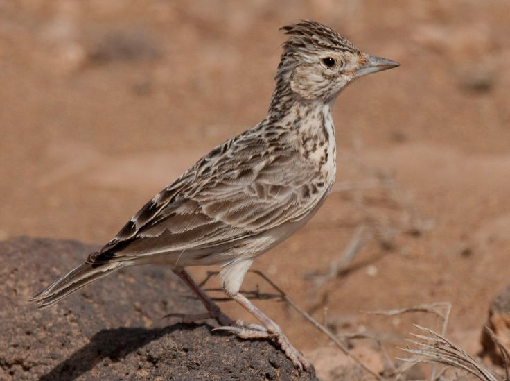 Raso Lark (Alauda razae) is a small passerine bird with a highly restricted range, being found only on Raso islet in the Cape Verde Islands.