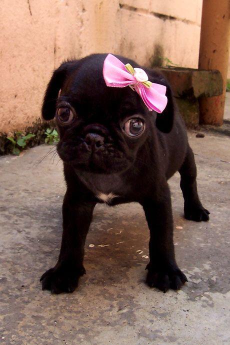 pretty black puggy