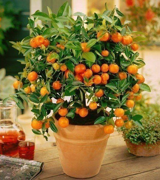 Как вырастить мандарин из косточки дома?