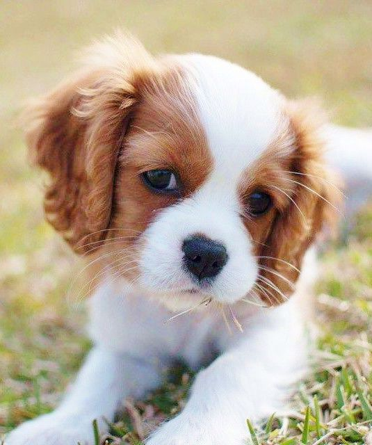 If we ever get a small dog it will definitely be a Cavalier - too cute! …