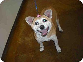 #urgent #dog #adopt #texas #austin #corgi #rescue Welsh Corgi Mix for adoption in Austin, TX who needs a loving home.