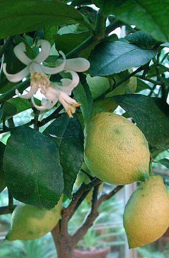 Citrusväxter hemma | Odla.nu