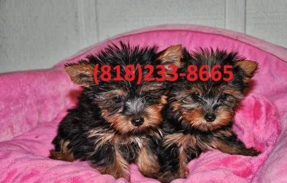 Yorkshire Terrier Puppies For Sale Lansing Mi Teacup Yorkie
