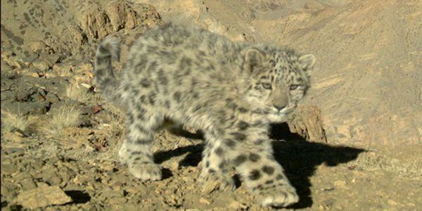 Secure the Endangered Snow Leopard's Habitat Now!