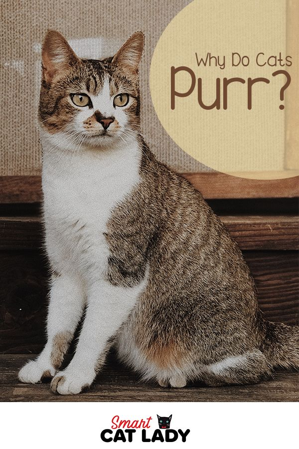 Why Do Cats Purr In 2020 Why Do Cats Purr Cat Purr Cat Facts