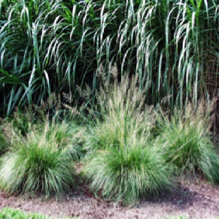 17 best images about grass landscaping on pinterest for Ornamental prairie grass