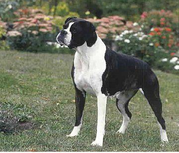 Black Boxer Dogs | Boxer Dog History