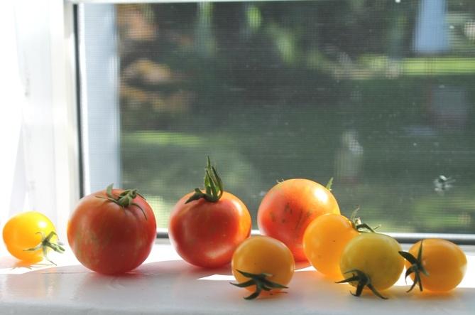 Last heirloom tomatoes harvested...