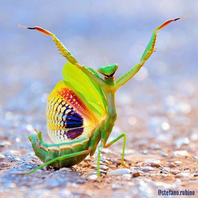 PetsLady's Pick: Totally Amazing Praying Mantis Of The Day  ... see more at PetsLady.com ... The FUN site for Animal Lovers