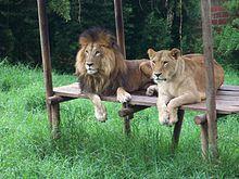Pareja de Leones, en el Zoológico de Matecaña, Pereira