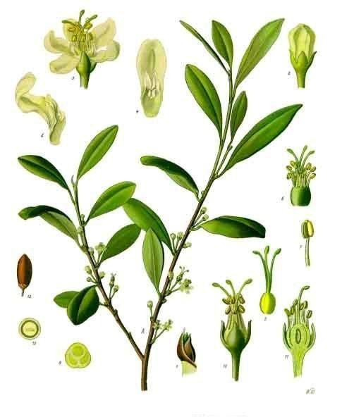 Die Kokapflanze in Köhler's Medizinal-Pflanzen