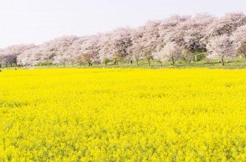 吉野の千本桜2016開花予想と見頃時期は?見所をエリア別に! | 気に ...