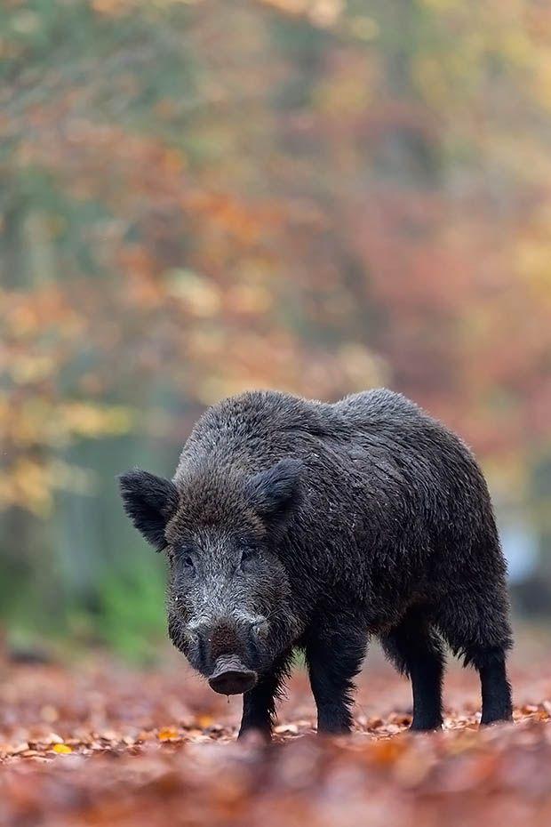 Wildschweinkeiler in der Rauschzeit auf der Suche nach Bachen - (Schwarzwild), Sus scrofa, Wild Boar tusker during the rut search female Wild Boars - (European Boar - Wild Hog)