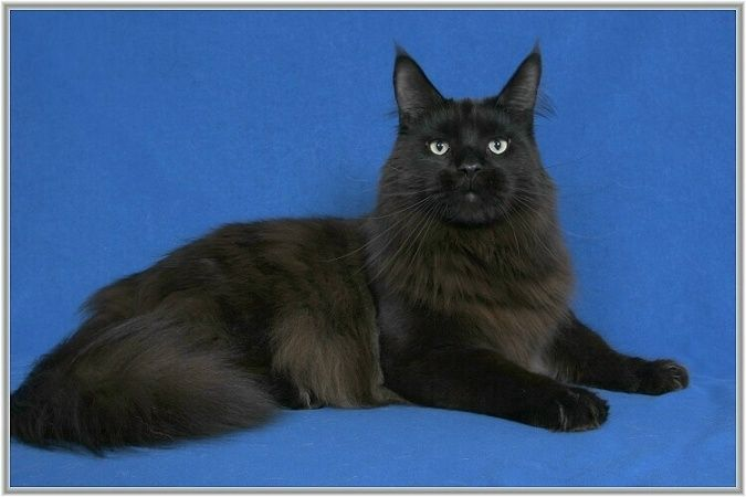 Maine Coon, Black Solid (n). Big Giants Resort's Donovan