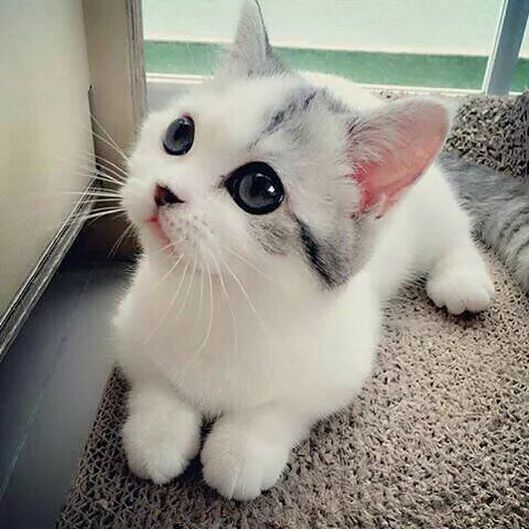 1004 best Cute catskittens images on Pinterest Baby cats Baby