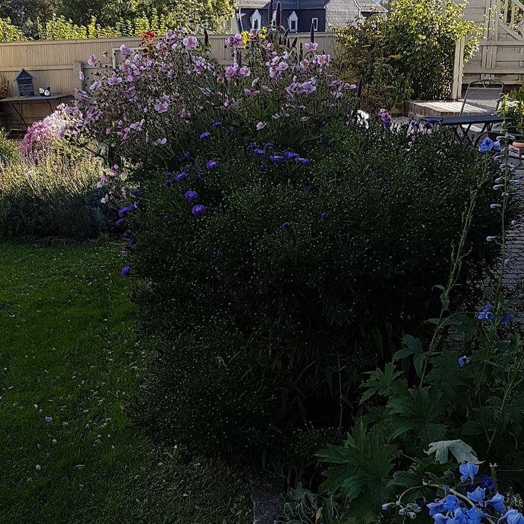 Herbstzauber...so unglaublich schön. . . Zu sehen sind astern und herbstanemone sowie Dill und Anis Ysop . .  #spätsommer #herbst #herbstdeko #flower #GARTENLIEBE #GARTENZAUBER #Herbstblume #mygarden #gardenlove #astern #anis #dill #herbstanemone #garten #meingarten
