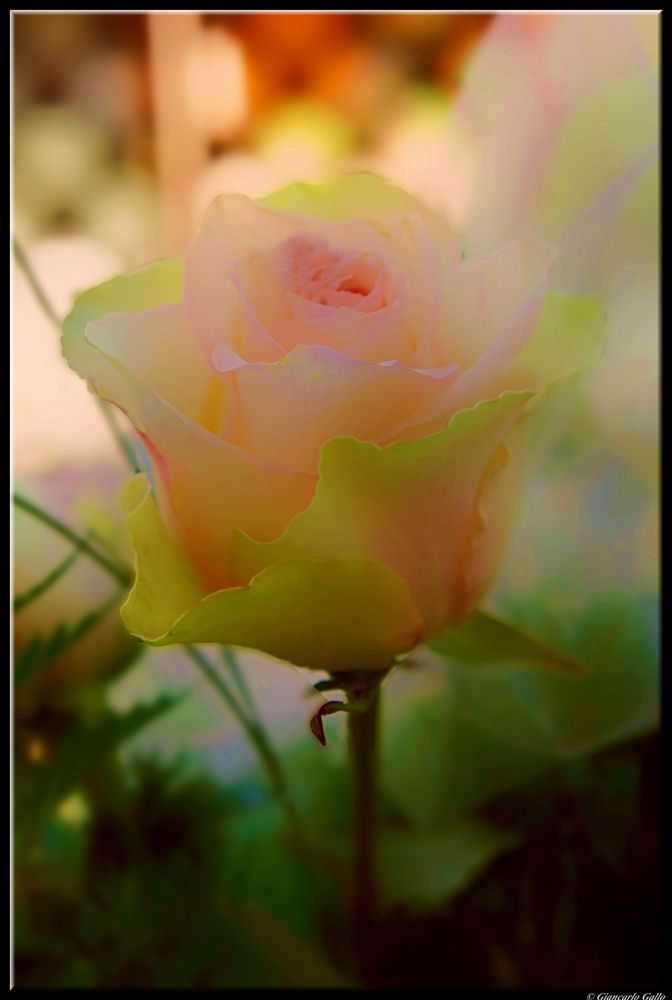 a pink rose by Giancarlo Gallo
