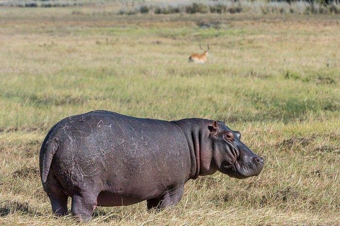 Big boy in the Busanga Plains near Busanga Camp, Zambia