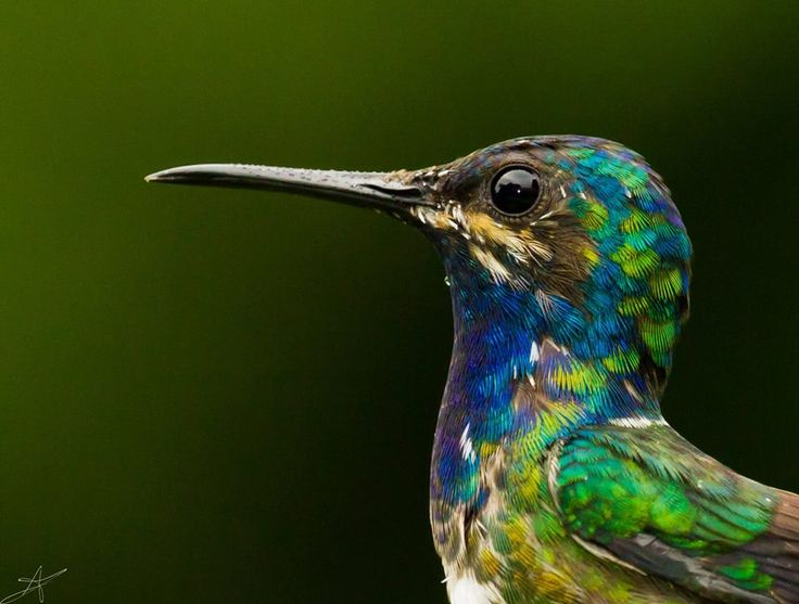 26 best Beautiful White-necked Jacobin Hummingbird Photography images on Pinterest | Beautiful ...