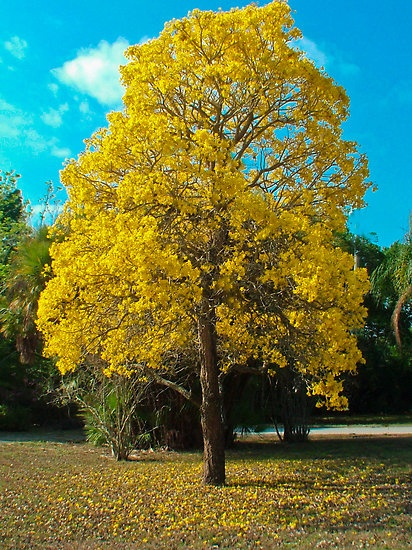 Who can get me a cute BONSAI version of a Golden Trumpet Tree, Yellow Trumpet Tree, Yellow Tabebuia, or ARAGUANEY!?!?!?!?!?!