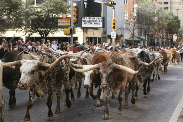 The Longhorn Cattle drive is a kick off to the San Antonio Stock Show and Rodeo, featuring 110 heads of cattle marching down Houston Street