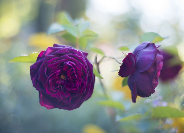 Roses: A Field Guide. The rose is the most widely loved flower, and much of the woody perennial;s popularity is due to its wide variety.