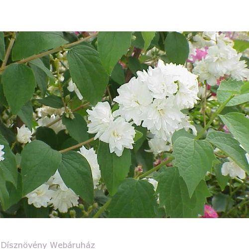 Díszkertek, közparkok kedvelt, gyakran ültetett, gyönyörűen virágzó dísznövényeAjánlott, hogy ott legyen minden jelentős és szép díszkertben!ÁTVÉTELOrszágosan szállítunkSzemélyes átvétel is