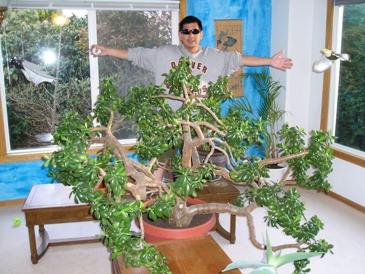 The Largest Jade Plant Indoor In The World Growing Jade