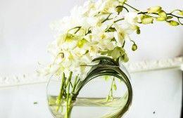 dendrobium orchidee bianche