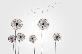 Image result for dandelion seed dispersal