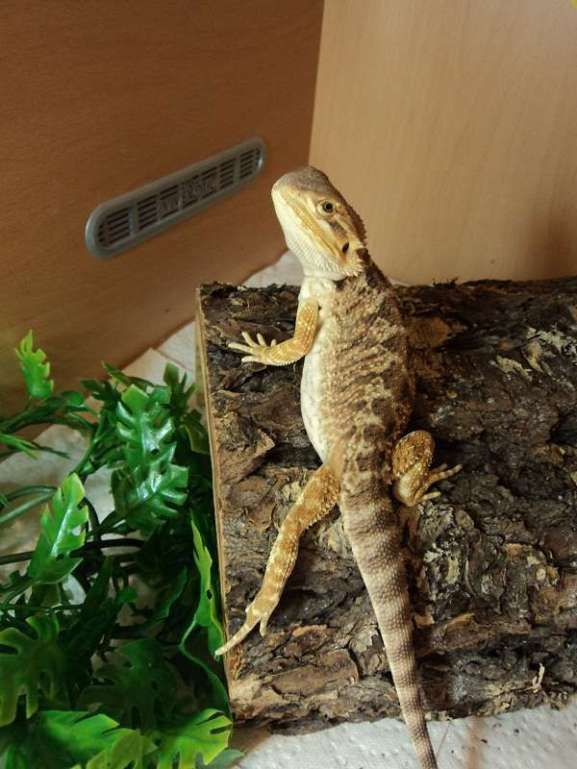 BEARDED DRAGON HABITAT 72