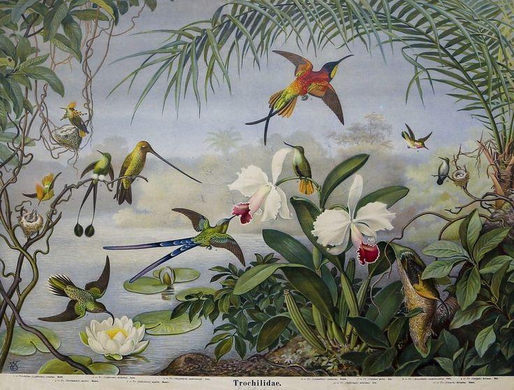 Den tyska skolplanschen med kolibrier användes i skolor i början av 1900-talet.