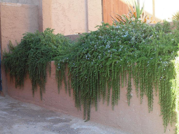 Rosmarinus officinalis prostratus: Trailing Rosemary. Looks fabulous cascading over masonry or metal walls. Smells fabulous and can even be used in the kitchen! #deerresistant #bulletproof #bees