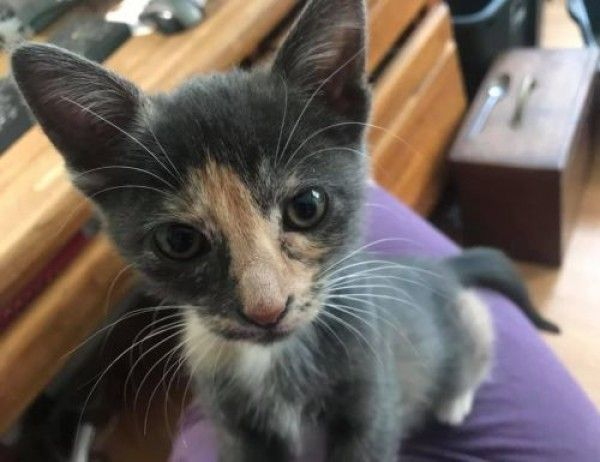 Calico And Ragdoll Mixed Cat For Adoption In Boulder Colorado