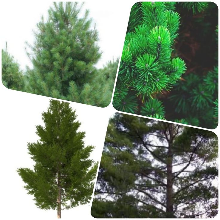 NAKSHATRA PLANT  PINE TREE  A pine is any conifer in the genus Pinus of the family Pinaceae. Pinus is the sole genus in the subfamily Pinoideae. The Plant List compiled by the Royal Botanic Gardens Kew and Missouri Botanical Garden accepts 126 species names of pines as current together with 35 unresolved species and many more synonyms.  Pine trees are evergreen coniferous resinous trees (or rarely shrubs) growing 380 m (10260 ft) tall with the majority of species reaching 1545 m (50150 ft)…
