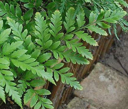 Ruhmora adiantiformis, Lærbregne Leather, Aspidaceae, SNITT