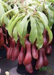 Pot pitcher plant