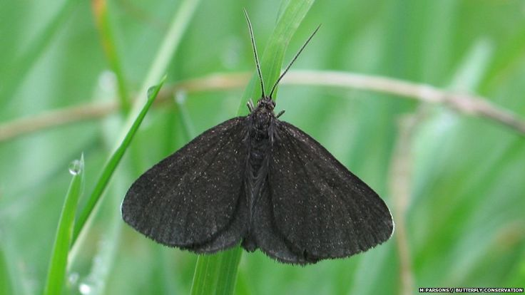 Chimney sweepers are unusual moths that prefer bright sunshine. The single generation flies between June and July in grassy meadows, look closely to see the white tinges on the edge of the otherwise black forewings. Picture: M Parsons.
