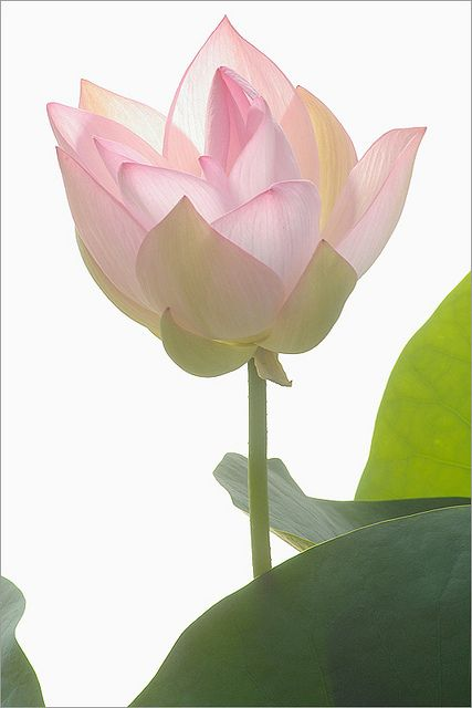 Pink Lotus Flower - IMGP3240-1000 by Bahman Farzad, via Flickr