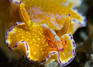 Steven Kovacs, Florida  Nudibranch, Ceratosoma trilobatum, with Imperator shrimp,  Periclimenes imperator — Lembeh Strait, Indonesia