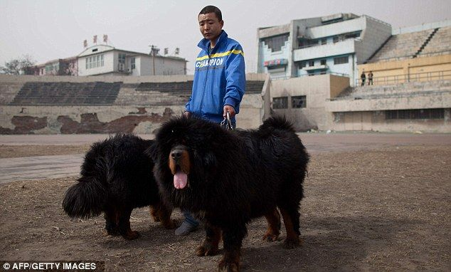 Status symbol: An owner walks his pets at the show with prices fetching as much as £500,000
