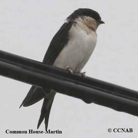 Common House-Martin