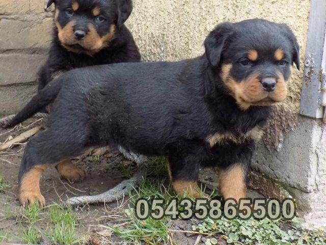 Satilik Rottweiler Yavruları | Bursa Köpek Çiftliği http://www.heavendog.net/satilik-rottweiler-yavrulari.html