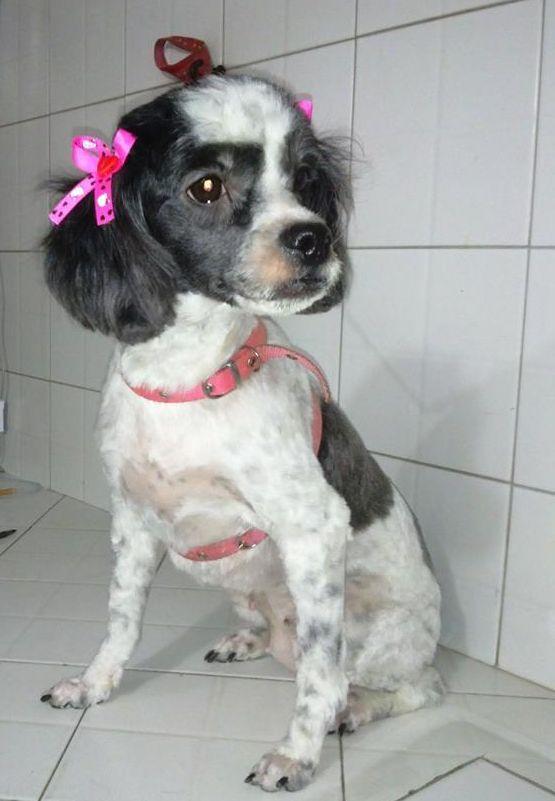 Nombre: Cuba Es una hermosa french poodle blanco y negro con 2 añitos de edad. Fue recogida en la calle, posiblemente abandonada o perdida en celo pues tenía piómetra, se le realizo su respectivo tratamiento y hoy se encuentra lista para encontrar un nuevo hogar.