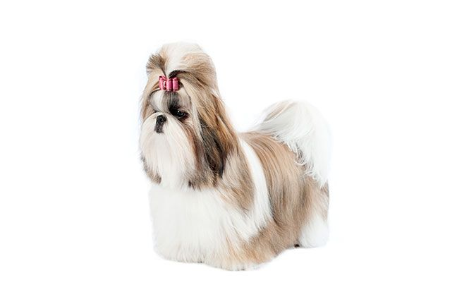 A friendly, intelligent and lively toy dog with a long, flowing coat, the Shih Tzu has a noble Chinese ancestry as a highly prized companion and palace pet. Outgoing, trusting, affectionate and happy, the Shih Tzu's sole purpose is to be a companion.  This sturdy, compact breed requires minimal exercise, but his luxurious coat needs daily brushing and grooming.